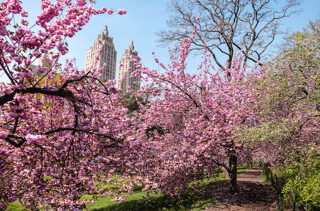 These are the 8 Best Places to See Cherry Blossoms in NYC