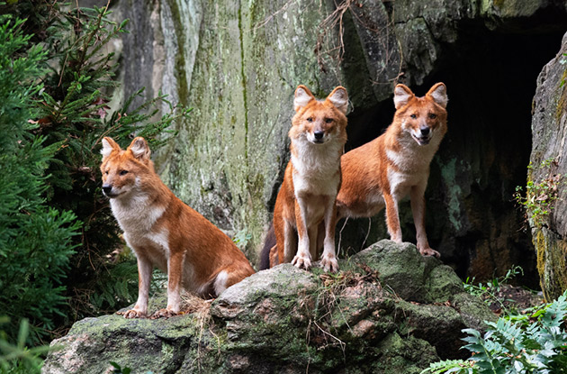 Bronx Zoo Debuts Endangered Dholes in New Exhibit