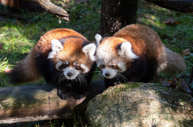 Red Panda Cubs Make Their Debut at the Prospect Park Zoo