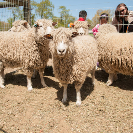 Sheep Shearing Special Admission Day at Queens County Farm Museum
