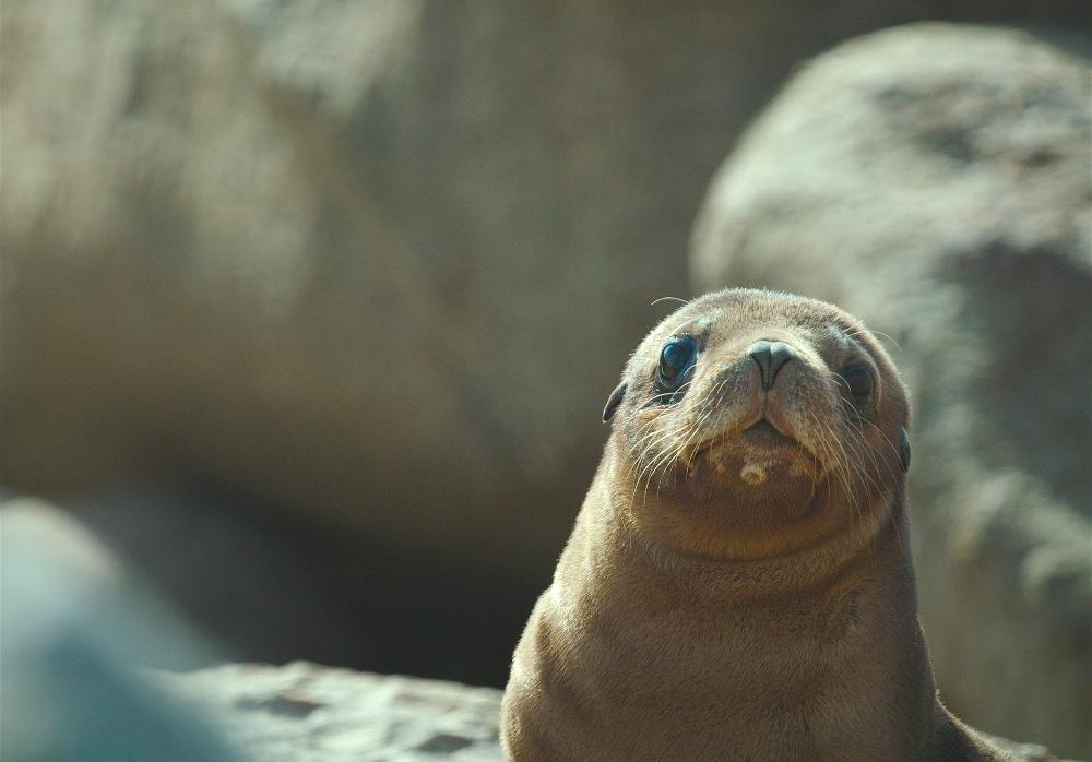 Sea Lions: Life by a Whisker at The American Museum of Natural History