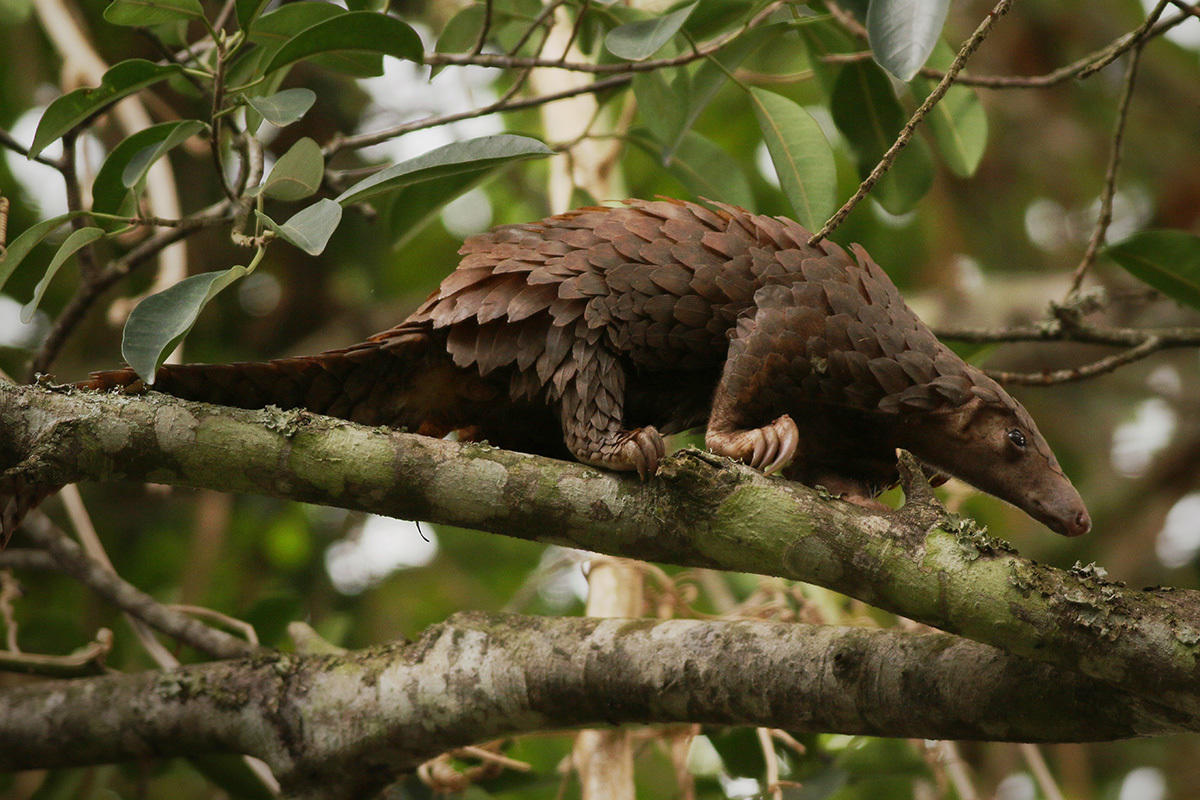 ONLINE Not All Scientists Wear Lab Coats: Celebrating World Pangolin Day at Bronx Zoo