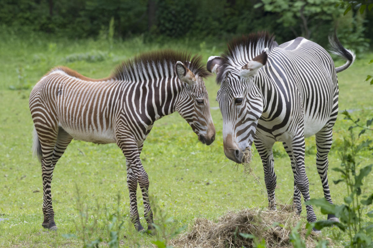 ONLINE Celebrating International Zebra Day at Bronx Zoo