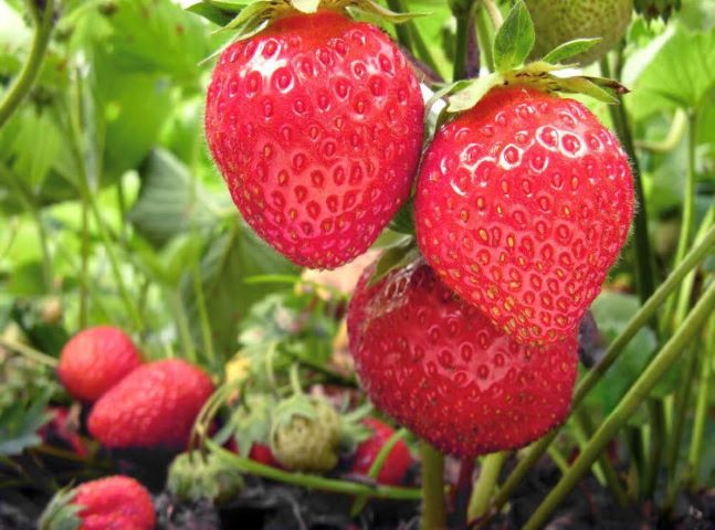 Pick your own strawberries at Alstede Farms at Alstede Farms