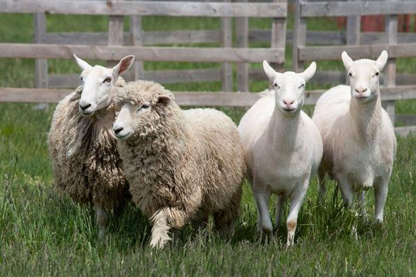Long Island Fleece and Fiber Fair at Hallockville Museum Farm