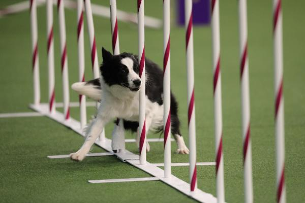 7th Annual Masters Agility Championship at Westminster at Pier 94