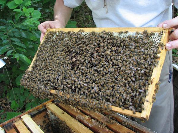 What's the Buzz with Honeybees? at Greenburgh Nature Center