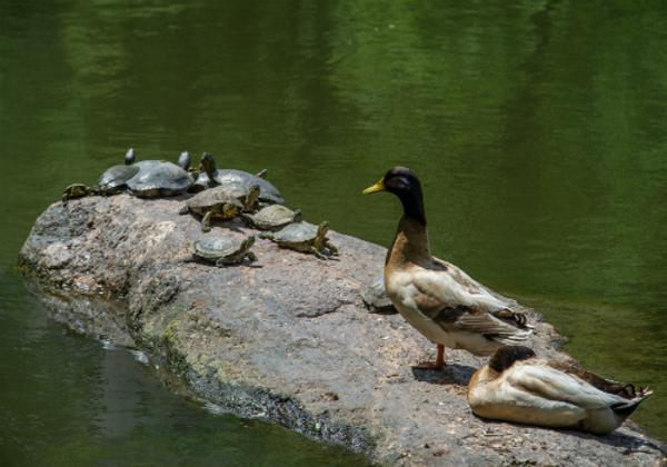 Discovery Walks for Families: Turtle Pond at Belvedere Castle