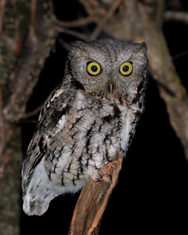 Owl Prowl at Hudson Highlands Nature Museum's Wildlife Education Center