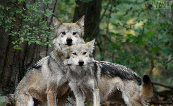 Wolves of North America at Wolf Conservation Center