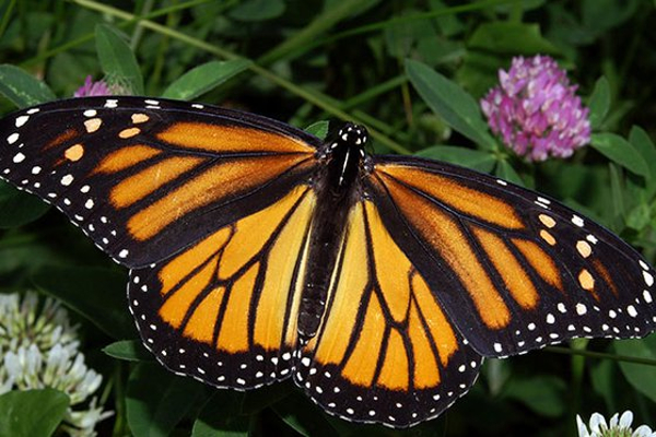 Citizen Science: Monarch Larva Monitoring Project at Long Island Children's Museum