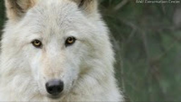Full Moon Wolf Walk at Wolf Conservation Center