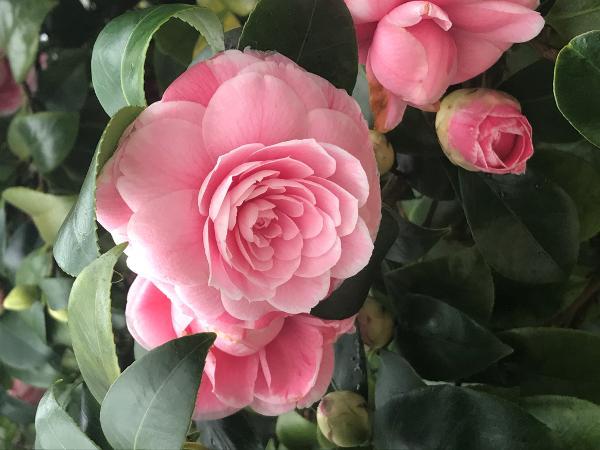 Camellia Festival at Planting Fields Arboretum