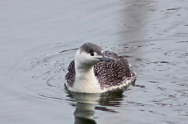 Great Backyard Bird Count at Grass Island at Grass Island Park
