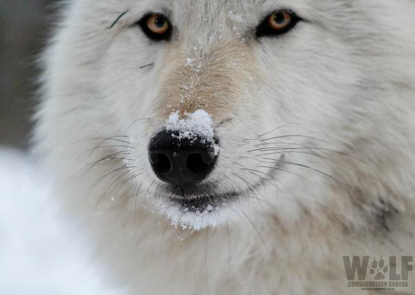 Winter Wolves at Wolf Conservation Center