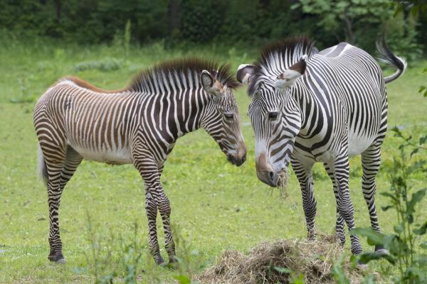 ONLINE Celebrating International Zebra Day at Bronx Zoo