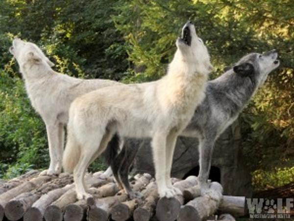 Evening Howl for Adults Only at Wolf Conservation Center