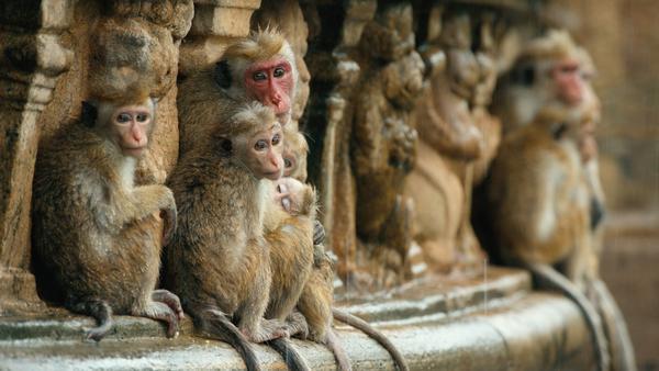 'Monkey Kingdom' at Jacob Burns Film Center
