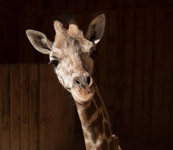 Meet Patches the Giraffe at White Post Farms