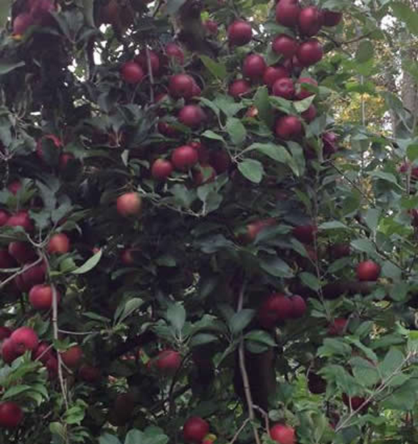 Pick Your Own Apples at Demarest Farms
