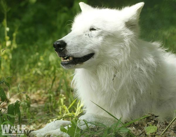 Atka's Angel Celebration: A Birthday Bash in Honor of Atka at Wolf Conservation Center