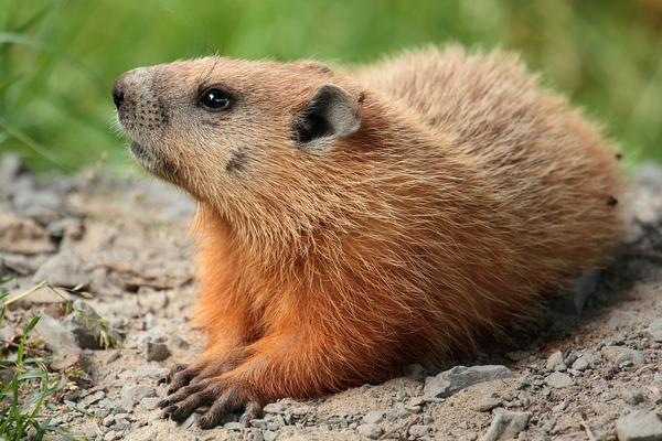 Nature Program: It's Groundhog Day at Teatown Lake Reservation