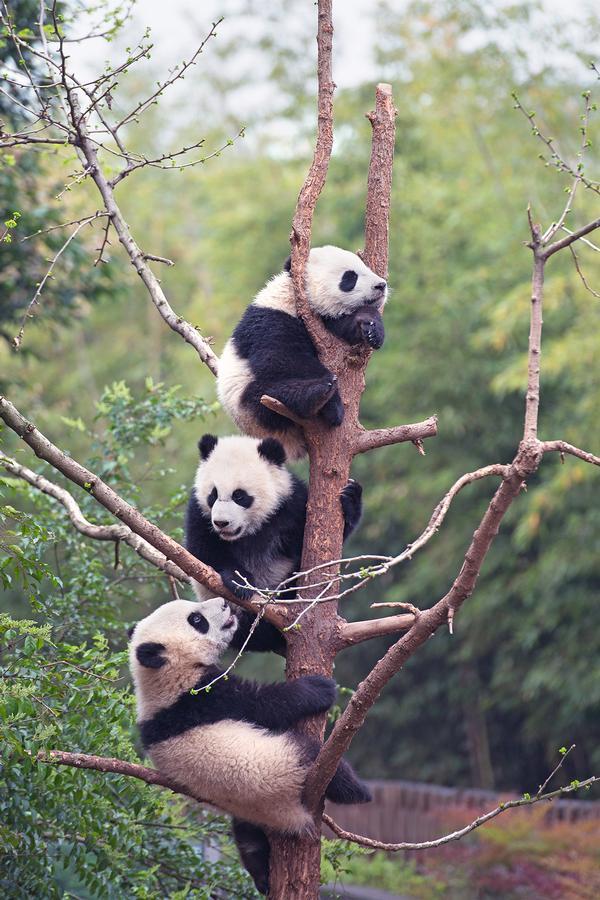 'Pandas' at Maritime Aquarium