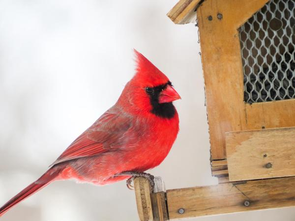 Intro to Backyard Bird Feeding & Project FeederWatch at Greenwich Audubon Center