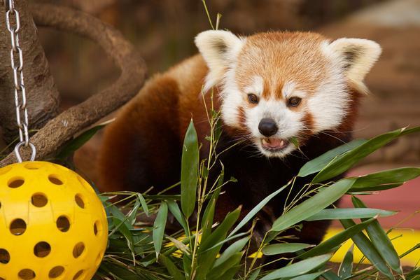 International Red Panda Day at Beardsley Zoo