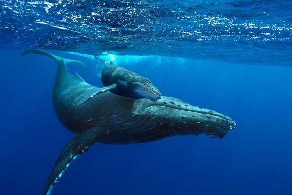 'Humpback Whales' at American Museum of Natural History