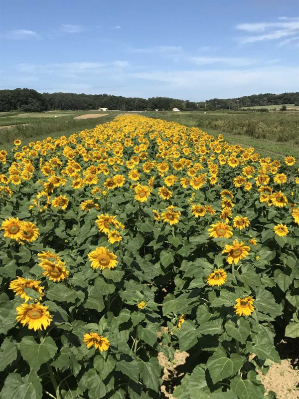 SUNFLOWER FESTIVAL at Garden of Eve Farm