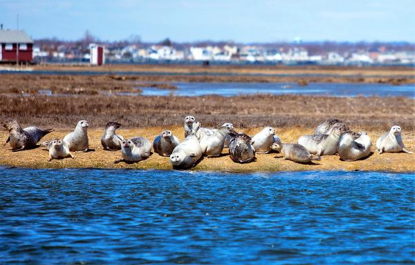 Seal Watching Cruise Long Island at Freeport Water Taxi & Tours