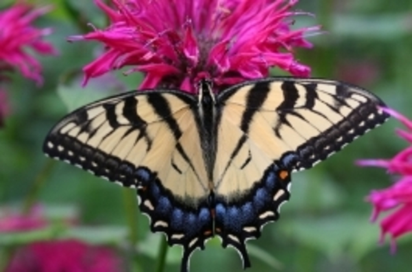 Butterfly Weekend at Hudson Highlands Nature Museum, Outdoor Discovery Center