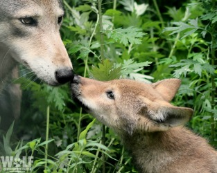 Evening Howl for Pups of All Ages at Wolf Conservation Center