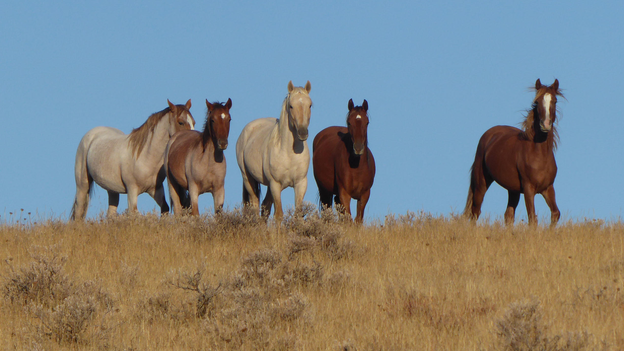 The Scientist Is In: Wild Horses at American Museum of Natural History - Virtual
